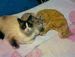 My Cat Family (Becker, Nala and Claudio) by Shi-m