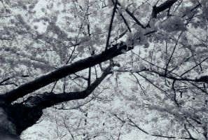 cherry blossoms in D.C. by poeticwriter007