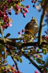 6012 - Chaffinch by Jay-Co