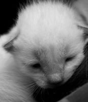 Little siamese cat by Amelie1994