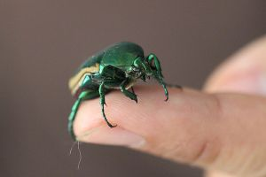 Fig Eater Beetle on Finger by Visualiart