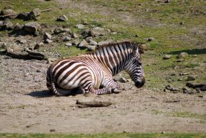 Zebra 5 by zergy79