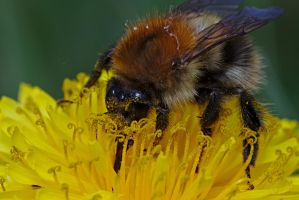 moss carder bee by andabata