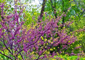Red Bud by jetsetaphrodite