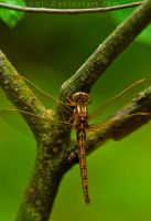 Golden Dragonfly by Lambii