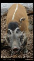 Red River Hog by brokendalek