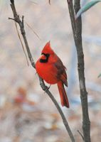 Justa Nother Male Cardinal by Tailgun2009