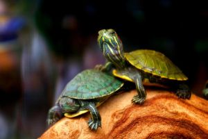 turtles have a dream by sairalindesaralonde