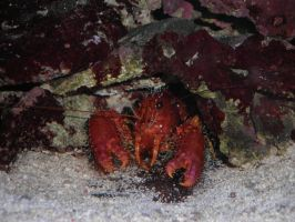 Crabby Crab Crab by TenderTurtle