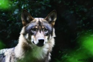 .:Grey Wolf.::.Leaf Green:. by WhiteSpiritWolf