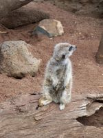 Meerkat7-Stock by SilkenWebs