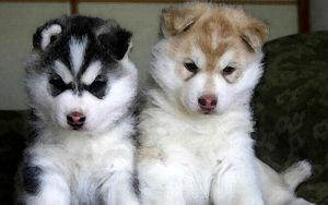Husky Puppies by OlympicWoof