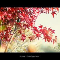 .:Japanese Red Maple:. by bogdanici