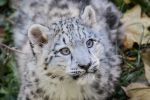 Snowleopard, Stuttgart VIII #CUB VERSION by GW-Photography