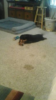 Mya playing with a toy by Cheetogod