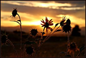 sunflowers.. by candysamuels