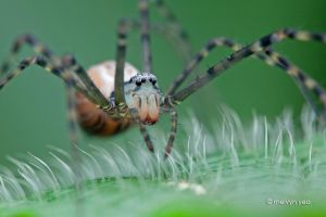 Psechrid Spider (Psechrus sp.) by melvynyeo
