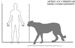 Africancheetah size comparison by cheetahsintheearth