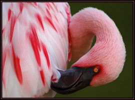 Lesser Flamingo by rgphoto777