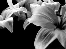 Flowers in black and white by Youtuber1204