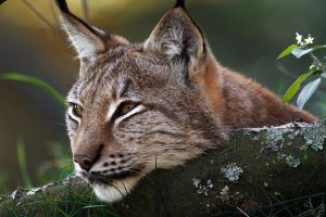 Lynx 8 by swissnature