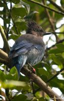 Banded Steller's Jay by OnTheTrail