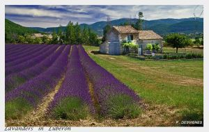 Lavenders in luberon by bracketting94