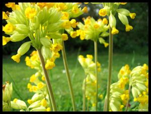 cowslips by Astrocat