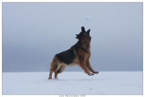 Gracil german shepherd by kyolein