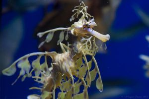 Leafy Sea Dragon by kiTTeh-LuV