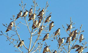 Bohemian Waxwings by hennatea