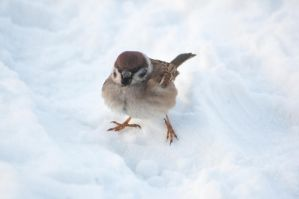Sparrow on snow by NRichey