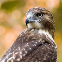 Red Tailed 2 by rscorp