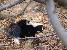 Skunk by Tanjelynn