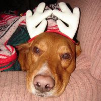 Tails Christmas Reindeer Dog 1 by FantasyStock