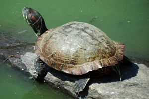 Turtle in Central Park - 2 by wildplaces