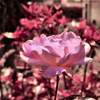 Nature in pink by FrancescaDelfino
