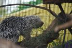 Prehensile Tailed Porcupine by ManitouWolf