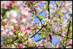 Trees in bloom by Roland3791