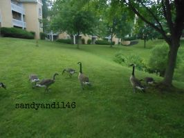 Geese Going Away by sandyandi146