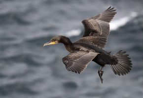 Going out for breakfast  - Cormorant by Jamie-MacArthur