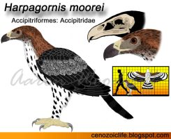 Harpagornis moorei by CenozoicKing