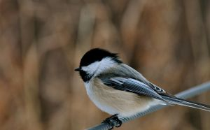 chickadee in january by contemporaryhart