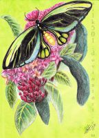 EAP Jan : Queen Alexandra's Birdwing by silk501