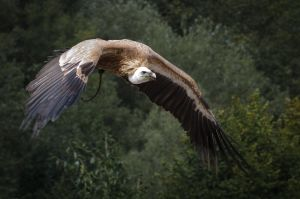 Griffon Vulture by PedroHamers