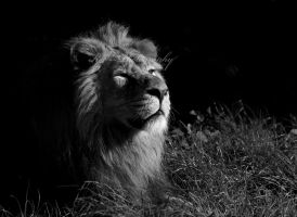 Lion by KO--Photography