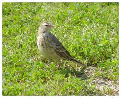 American Pipit by Cillana