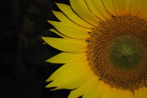 sunflower by simculacik