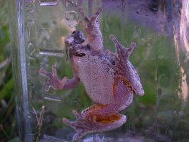 Tree Frog 19 of 24 by celticmaiden7