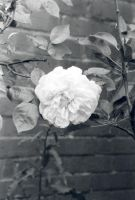 White Rose by linzi